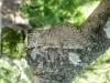Cerura iberica