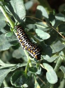 Autora: Mika Noguera. Papilio machaon.