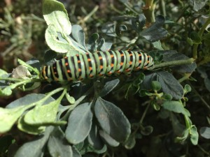 Autora: Mika Noguera. Papilio machaon